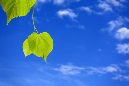 tilia: Spring tilia leafs and blue sky with clouds Stock Photo