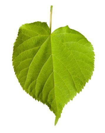 tilia: Green tilia leaf isolated on white background Stock Photo