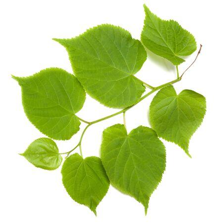 tilia: Green tilia leafs isolated on white background
