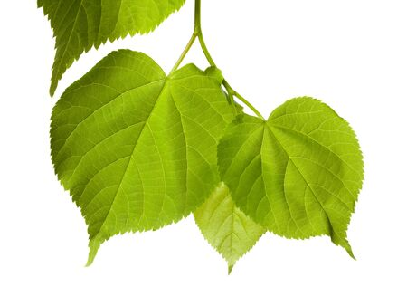 Spring tilia leafs isolated on white background photo