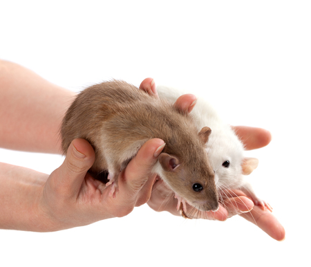 norvegicus: Brown and white rats in hands. Isolated on white background. Stock Photo