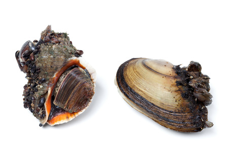 veined: Veined rapa whelk and river mussels (anodonta). Isolated on white background. Stock Photo