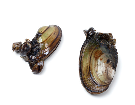 freshwater pearl: Two anodontas (river mussels) overgrown with small mussels. Isolated on white background.