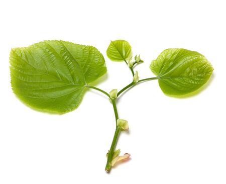 tilia: Green tilia leafs. Isolated on white background. Stock Photo