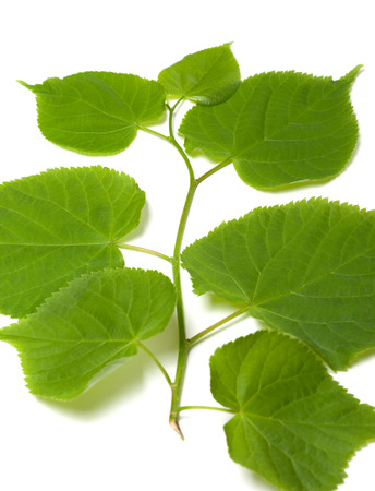 basswood: Spring sprig of linden. Isolated on white background.
