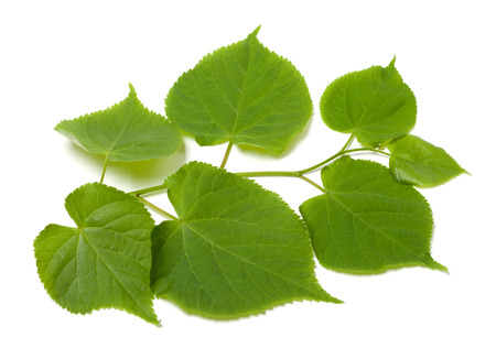 basswood: Green sprig of linden-tree. Isolated on white background. Stock Photo