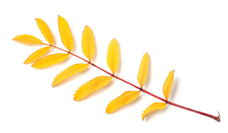 serrate: Yellow autumn rowan leaf isolated on white background