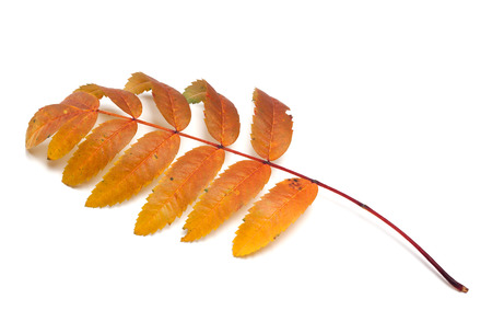 wizened: Autumn rowan leaf. Isolated on white background