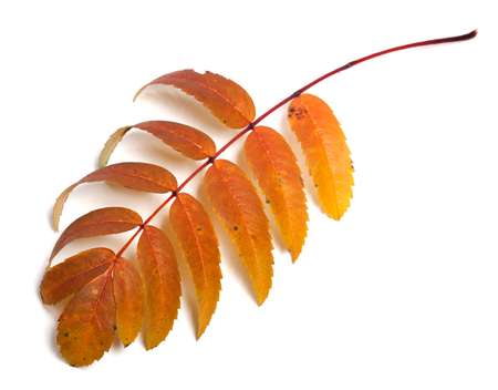 sorb: Autumn rowan leaves isolated on white background