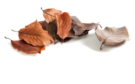 wizen: Autumn dry magnolia leaves isolated on white background with copyspace Stock Photo