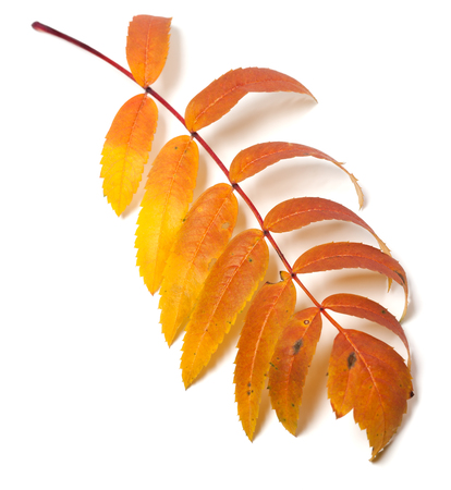 serrate: Autumn rowan leaf isolated on white background Stock Photo