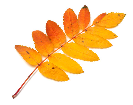 Autumnal yellowed rowan leaf isolated on white background Stock Photo