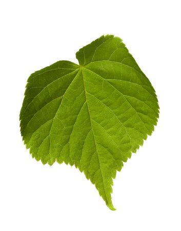tilia: Green tilia leaf. Isolated on white background