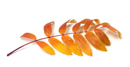 serrate: Autumn rowan leaves isolated on white background