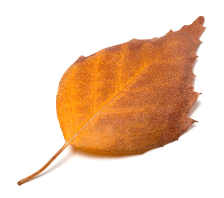 wizen: Dry autumn leaf of birch. Isolated on white background Stock Photo