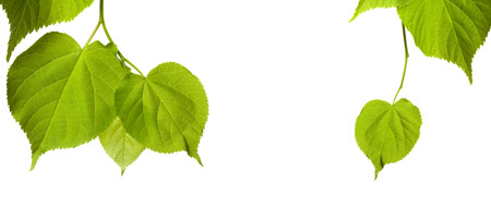 tilia: Spring tilia leaves isolated on white background with copy space