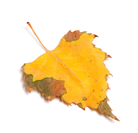 serrate: Dried autumn leaf of birch isolated on white background. Close-up view.