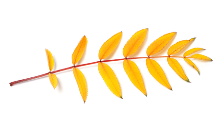 serrate: Yellow autumn rowan leaf. Isolated on white background. Stock Photo