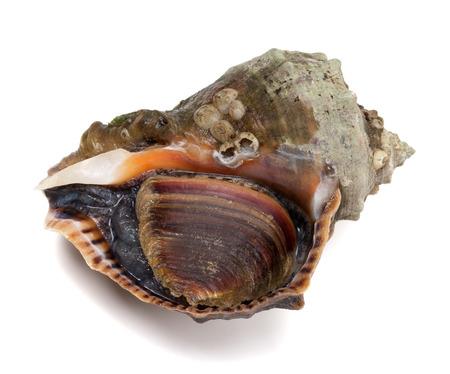 mollusca: Veined rapa whelk isolated on white background