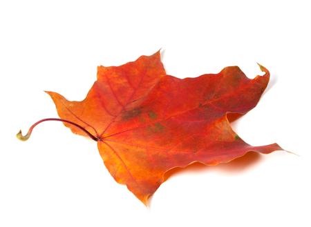 hojas secas: Hoja de arce roja del otoño. Aislado en el fondo blanco.