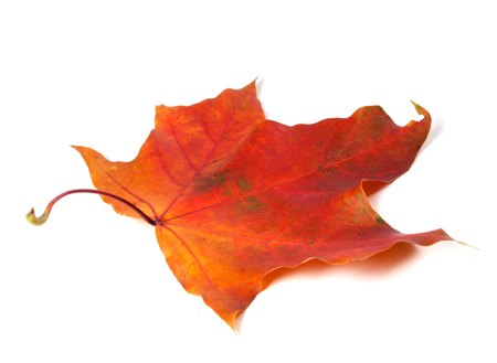 Red autumn maple leaf. Isolated on white background.