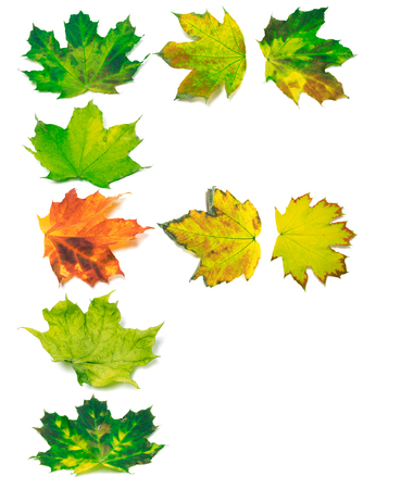 yellowed: Letter F composed of yellowed maple leafs. Isolated on white background.