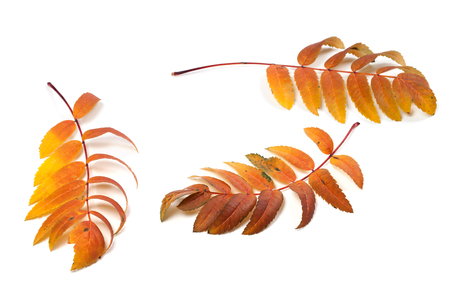sorb: Three autumn rowan leafs isolated on white background Stock Photo