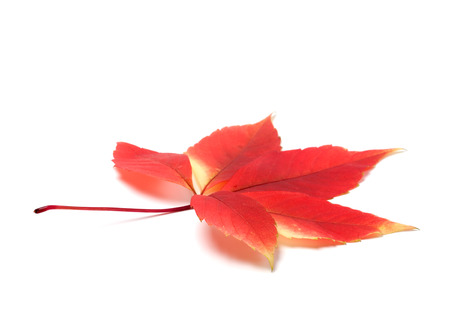 fallen fruit: Red autumn virginia creeper leaves (Parthenocissus quinquefolia foliage). Isolated on white background with copy space Stock Photo