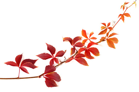 Twigs: Twig of autumnal grapes leaves. Parthenocissus quinquefolia foliage. Isolated on white background with copy space