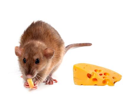 norvegicus: Fancy rat (Rattus norvegicus) eating  cheese. Isolated on white background. Stock Photo