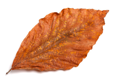 Dry autumn leaf of magnolia isolated on white background. Close-up view.