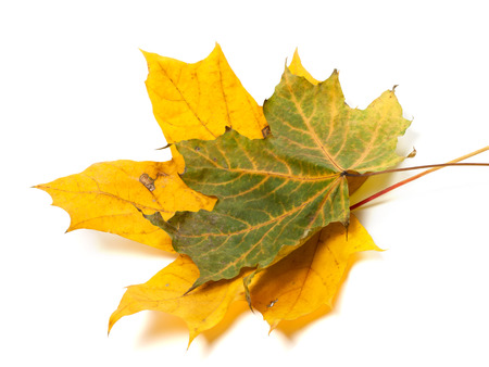 wizened: Two autumn maple leafs. Isolated on white background
