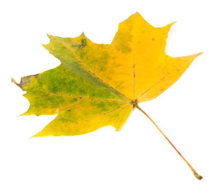 wizen: Yellowed autumn maple-leaf. Isolated on white background Stock Photo