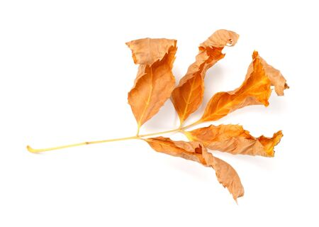wizen: Dry autumnal ash-tree leaves. Isolated on white background