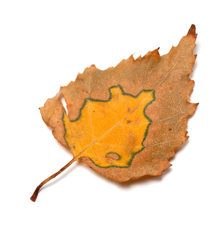 birch leaf: Autumn birch leaf. Isolated on white background. Close-up view.