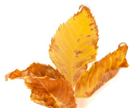 wizen: Part of dried yellow ash-tree leaf isolated on white background