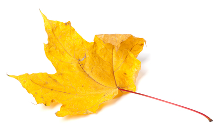wizened: Yellow dried autumn maple-leaf. Isolated on white background. Selective focus