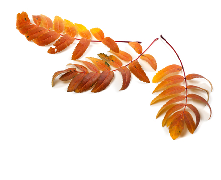 serrate: Three autumnal rowan leaves. Isolated on white background with copy space