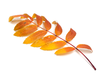 sorb: Autumn rowan leaves. Isolated on white background