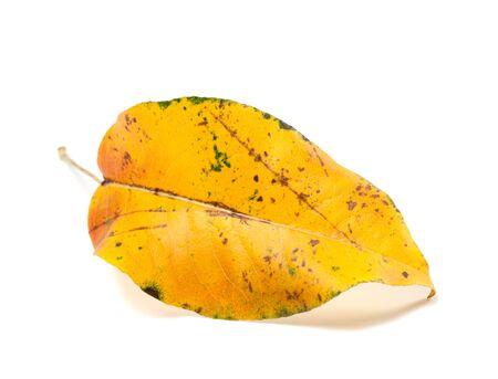 yellowed: Yellowed autumn leaf isolated on white background Stock Photo