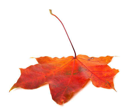 wizened: Red autumn maple leaf isolated on white background.