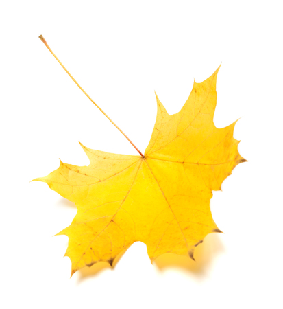 wizened: Yellow autumn maple-leaf. Isolated on white background. Selective focus.