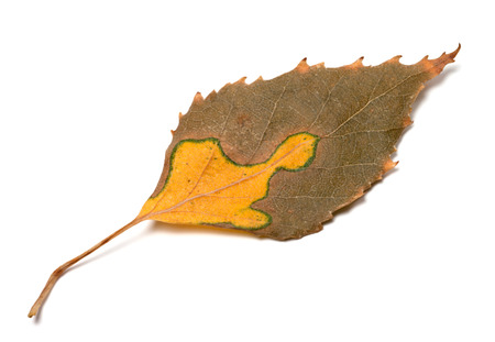 serrate: Multicolor autumn leaf of birch. Isolated on white background