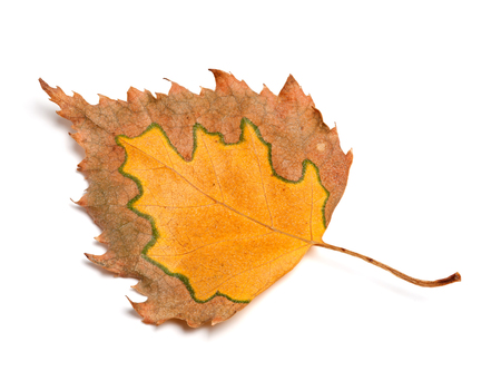 birch leaf: Autumn birch leaf isolated on white background. Close-up view.