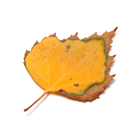 serrate: Dried autumn leaf of birch isolated on white background Stock Photo