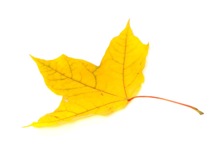 yellowed: Autumn yellowed leaf. Isolated on white background.