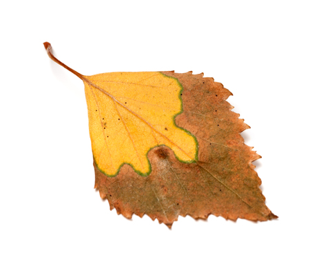 serrate: Dried yellowed autumn leaf of birch. Isolated on white background. Selective focus