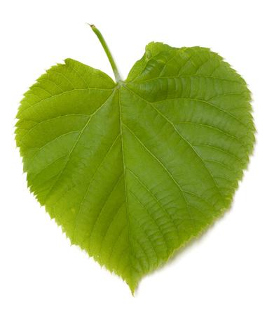 tilia: Green tilia leaf. Isolated on white background.