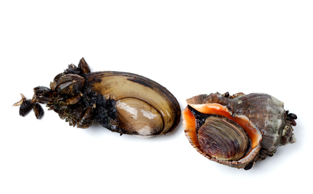 veined: River mussels (Anodonta) and veined rapa whelk. Isolated on white background. Stock Photo