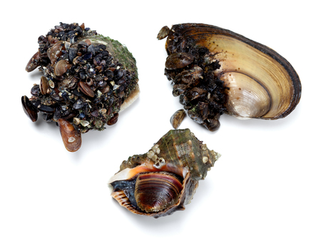 fished: Veined rapa whelk and river mussels (anodonta). Isolated on white background. Top view.